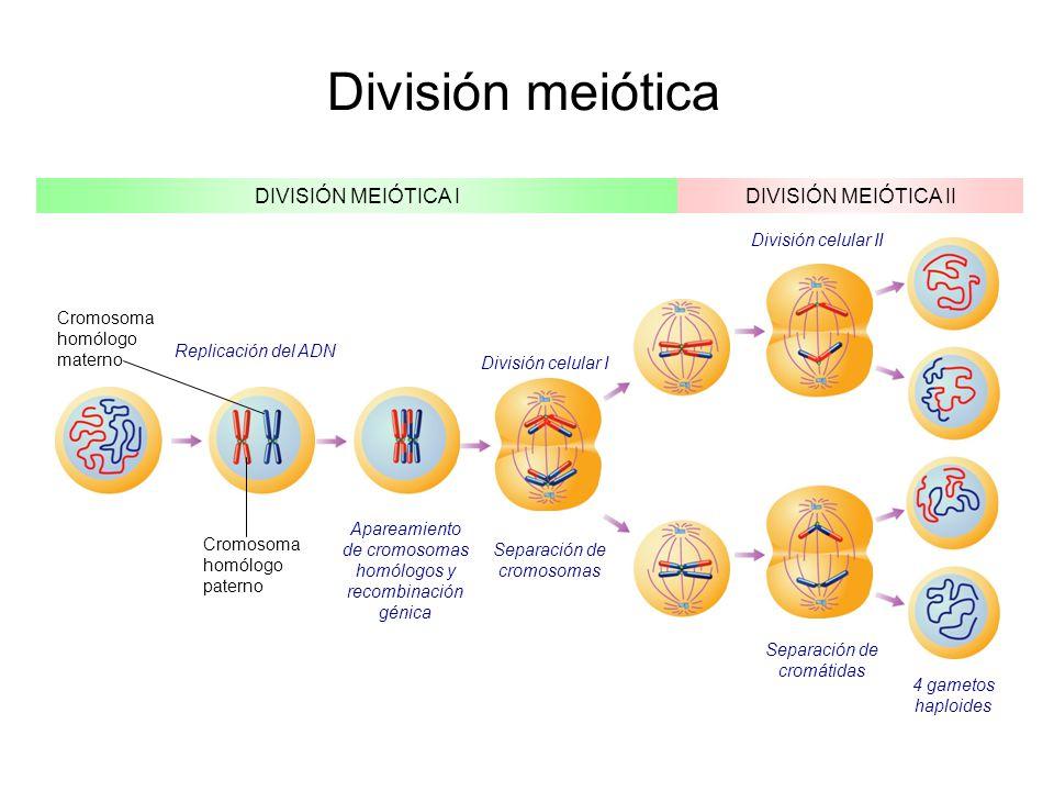 División meiótica DIVISIÓN MEIÓTICA I DIVISIÓN MEIÓTICA II