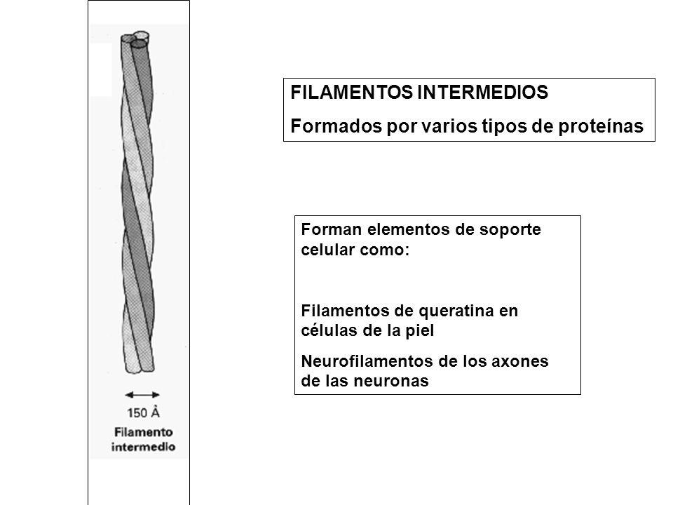 FILAMENTOS INTERMEDIOS Formados por varios tipos de proteínas