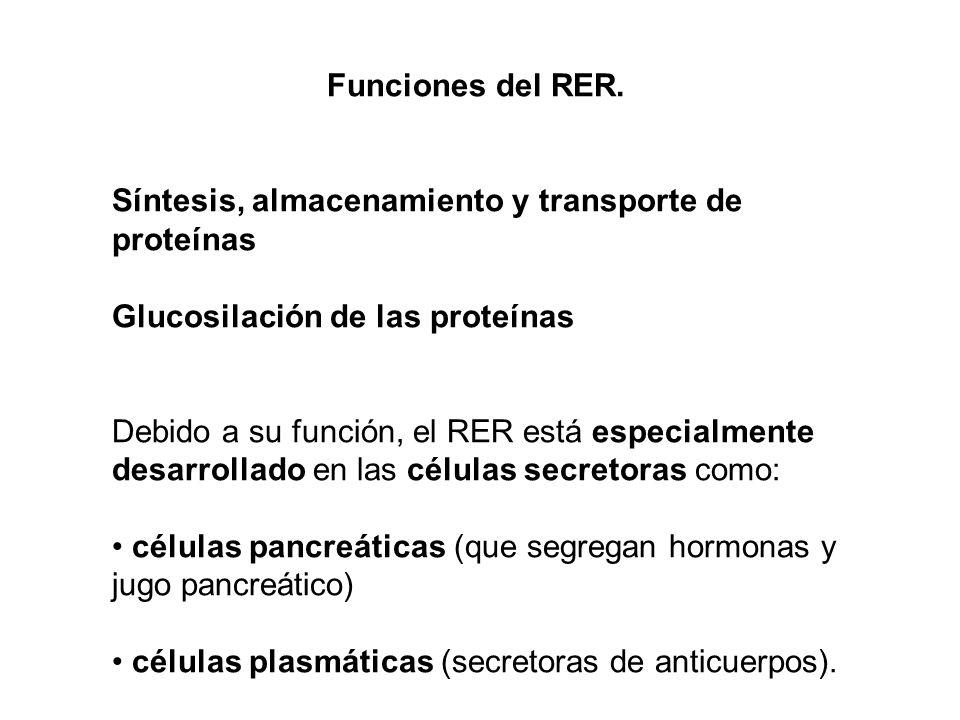Funciones del RER. Síntesis, almacenamiento y transporte de proteínas. Glucosilación de las proteínas.