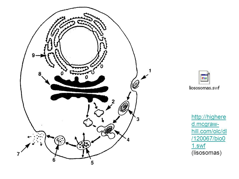 http://highered.mcgraw-hill.com/olc/dl/120067/bio01.swf (lisosomas)