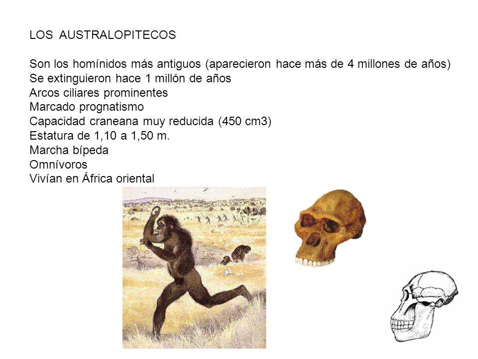 LOS AUSTRALOPITECOS Son los homínidos más antiguos (aparecieron hace más de 4 millones de años) Se extinguieron hace 1 millón de años.