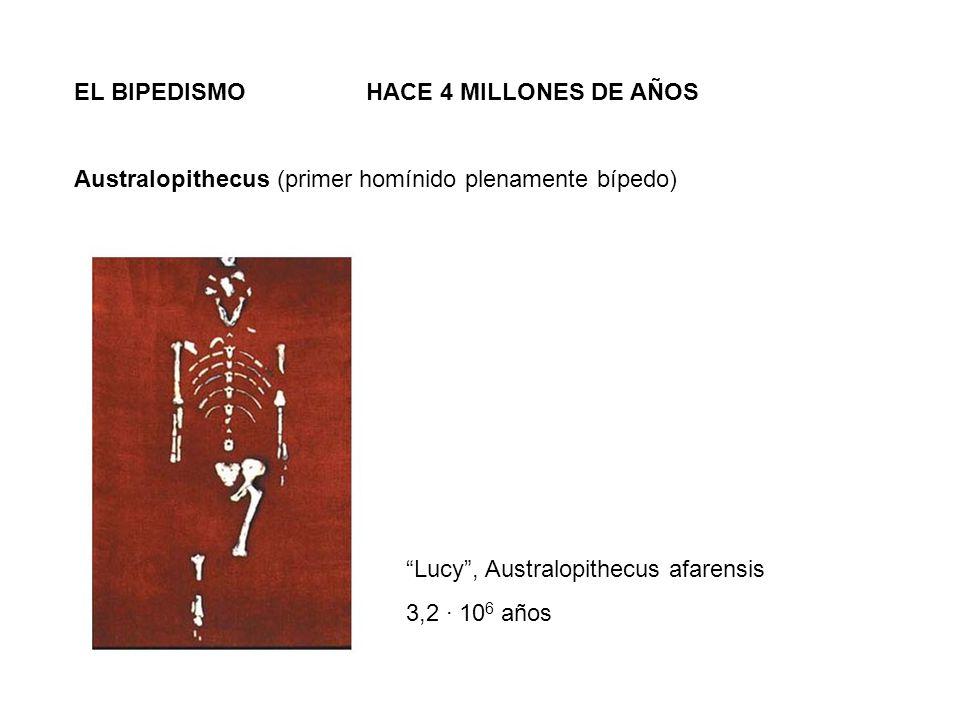 EL BIPEDISMO HACE 4 MILLONES DE AÑOS