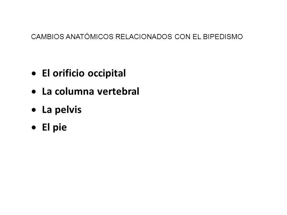 El orificio occipital La columna vertebral La pelvis El pie