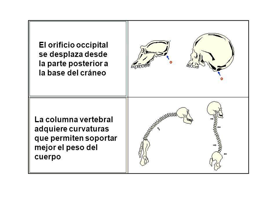 El orificio occipital se desplaza desde la parte posterior a la base del cráneo