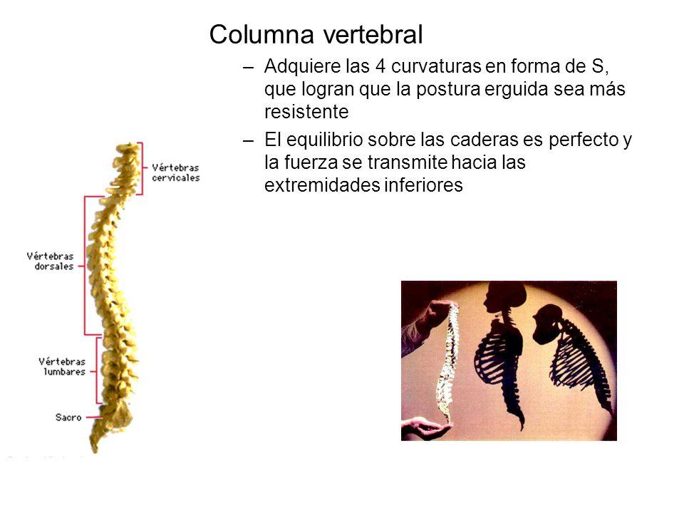 Columna vertebral Adquiere las 4 curvaturas en forma de S, que logran que la postura erguida sea más resistente.