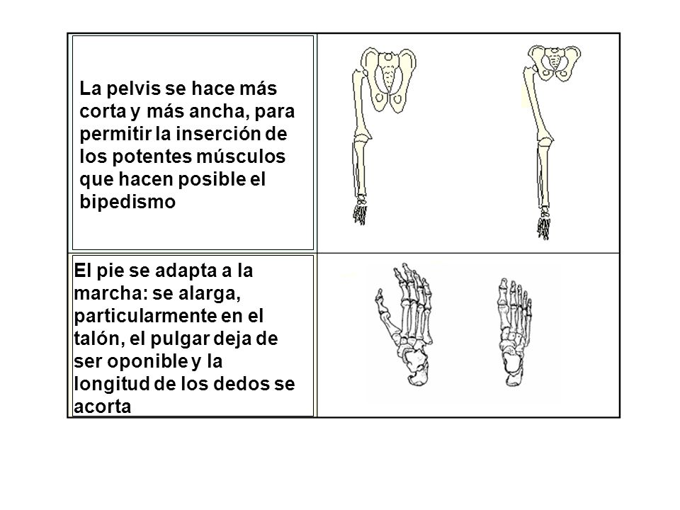 La pelvis se hace más corta y más ancha, para permitir la inserción de los potentes músculos que hacen posible el bipedismo