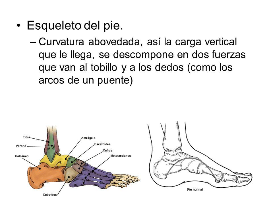 Esqueleto del pie.