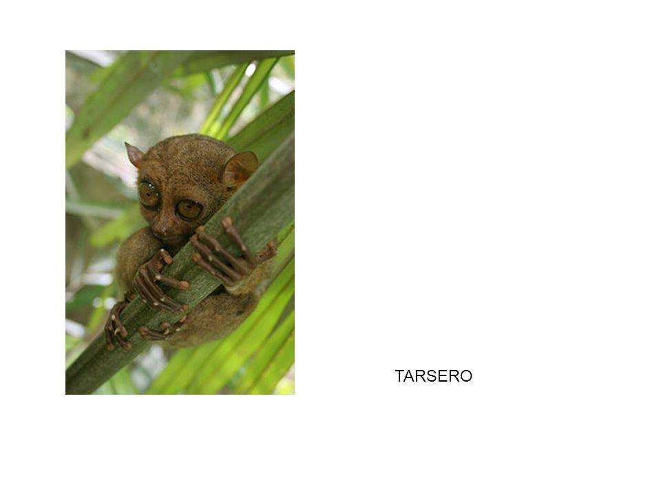 TARSERO