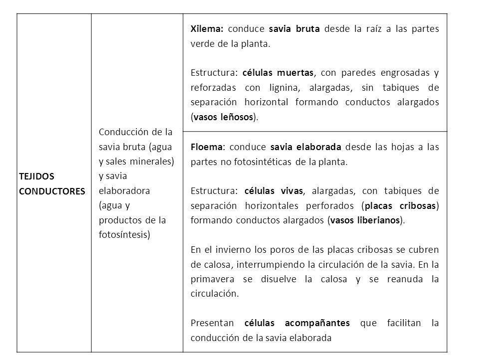 TEJIDOS CONDUCTORES Conducción de la savia bruta (agua y sales minerales) y savia elaboradora (agua y productos de la fotosíntesis)