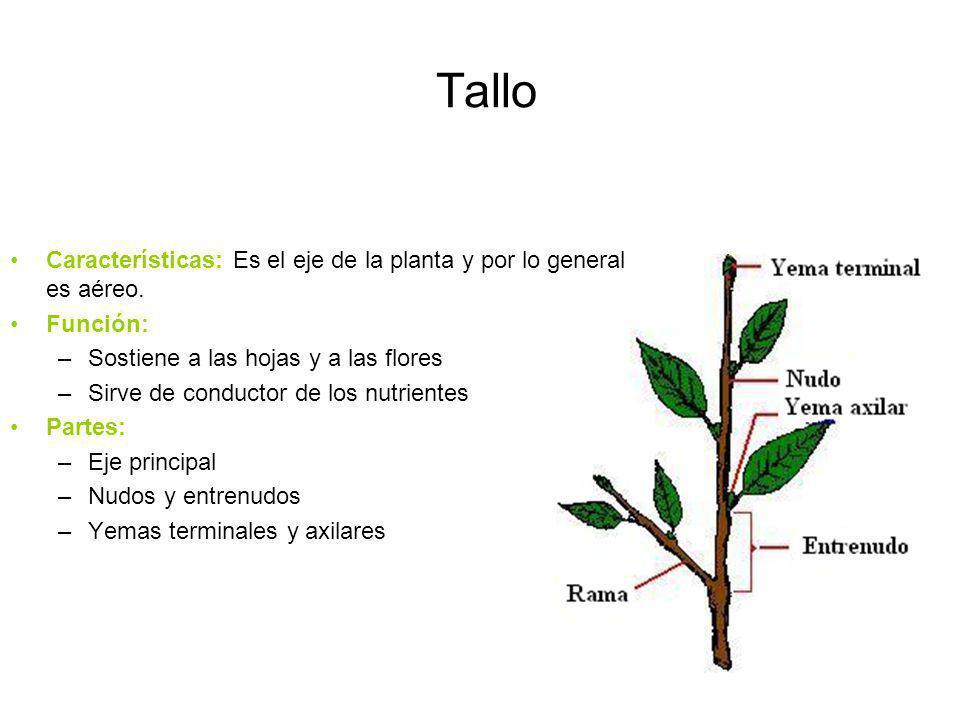 Tallo Características: Es el eje de la planta y por lo general es aéreo. Función: Sostiene a las hojas y a las flores.