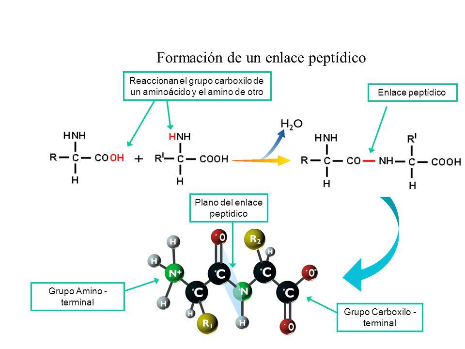 Formación de un enlace peptídico