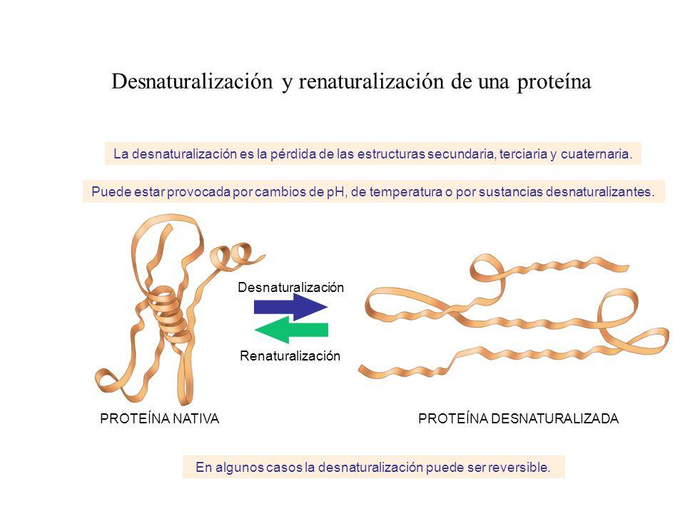 Desnaturalización y renaturalización de una proteína