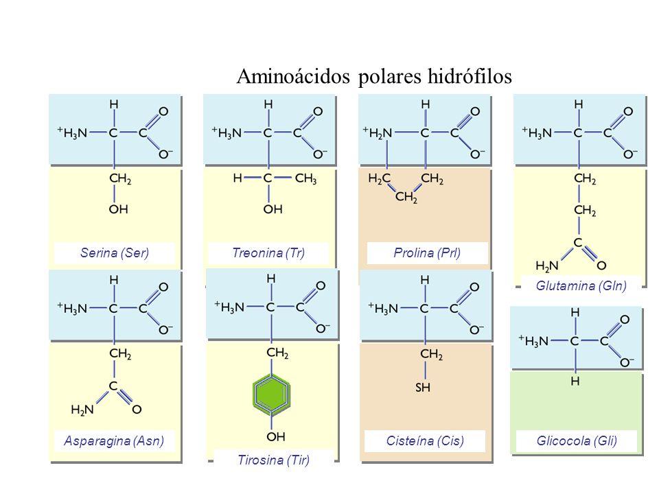 Aminoácidos polares hidrófilos