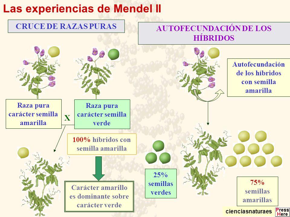Las experiencias de Mendel II