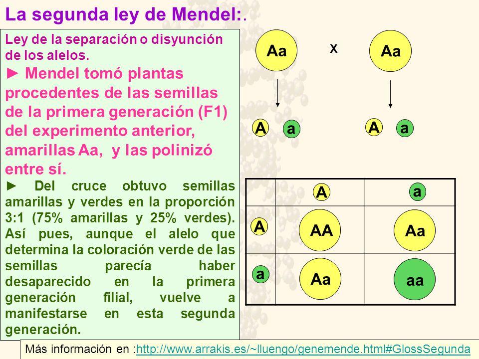 La segunda ley de Mendel:.