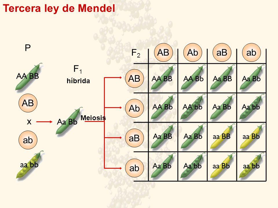 Tercera ley de Mendel P AB Ab aB ab F2 F1 AB AB Ab x aB ab ab híbrida