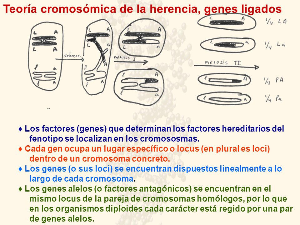 Teoría cromosómica de la herencia, genes ligados