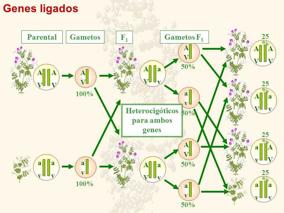 Heterocigóticos para ambos genes