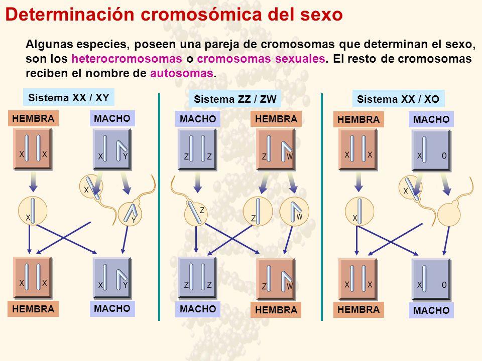 Determinación cromosómica del sexo