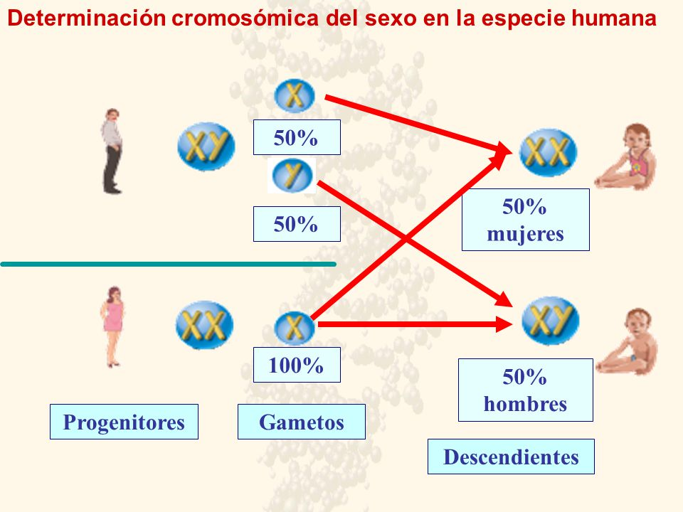 Determinación cromosómica del sexo en la especie humana