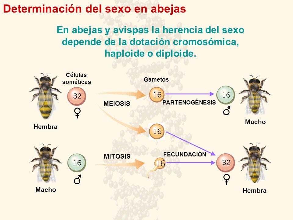 Determinación del sexo en abejas