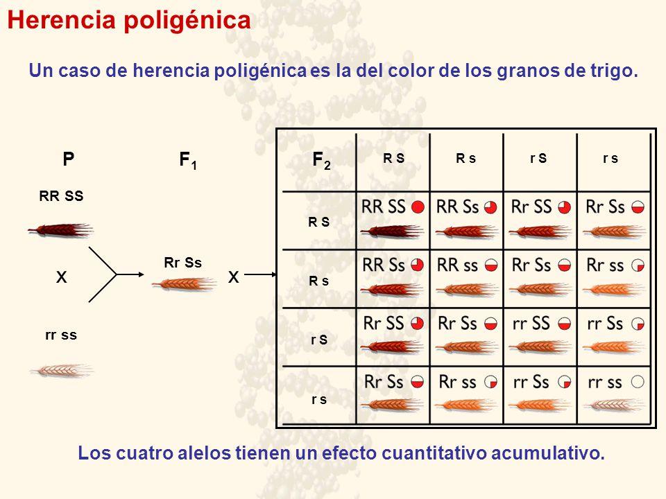 Herencia poligénica x x