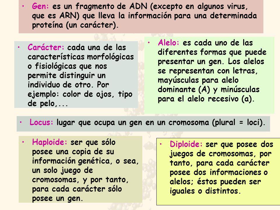 Gen: es un fragmento de ADN (excepto en algunos virus, que es ARN) que lleva la información para una determinada proteína (un carácter).