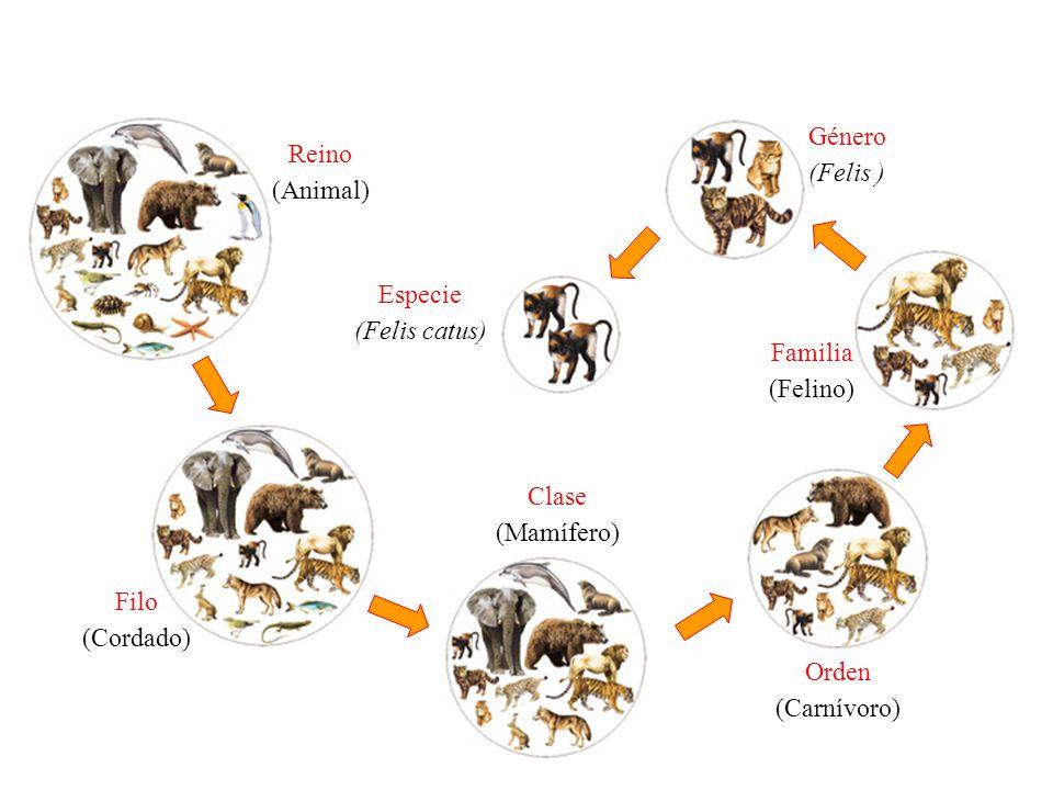 Género (Felis ) Reino. (Animal) Especie. (Felis catus) Familia. (Felino) Clase. (Mamífero) Filo.