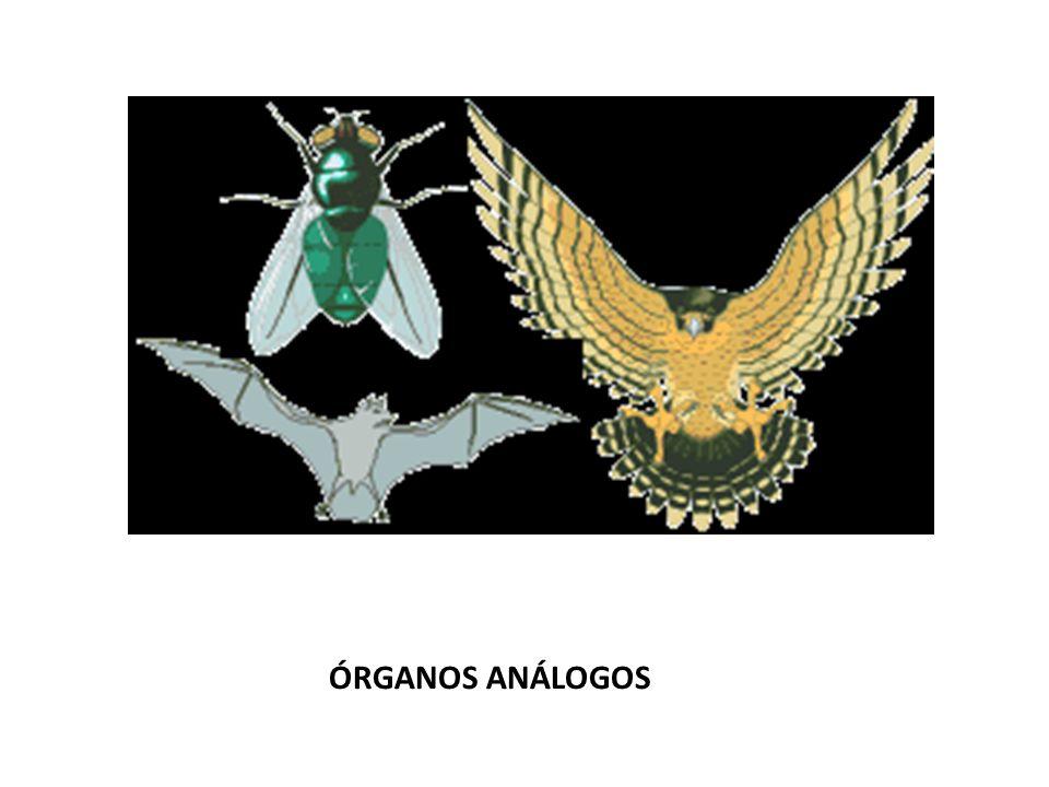 ÓRGANOS ANÁLOGOS