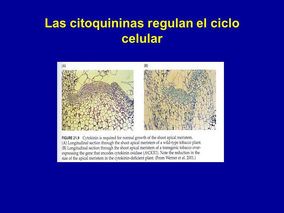 Las citoquininas regulan el ciclo celular
