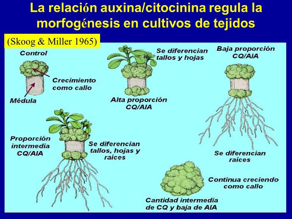 La relación auxina/citocinina regula la morfogénesis en cultivos de tejidos