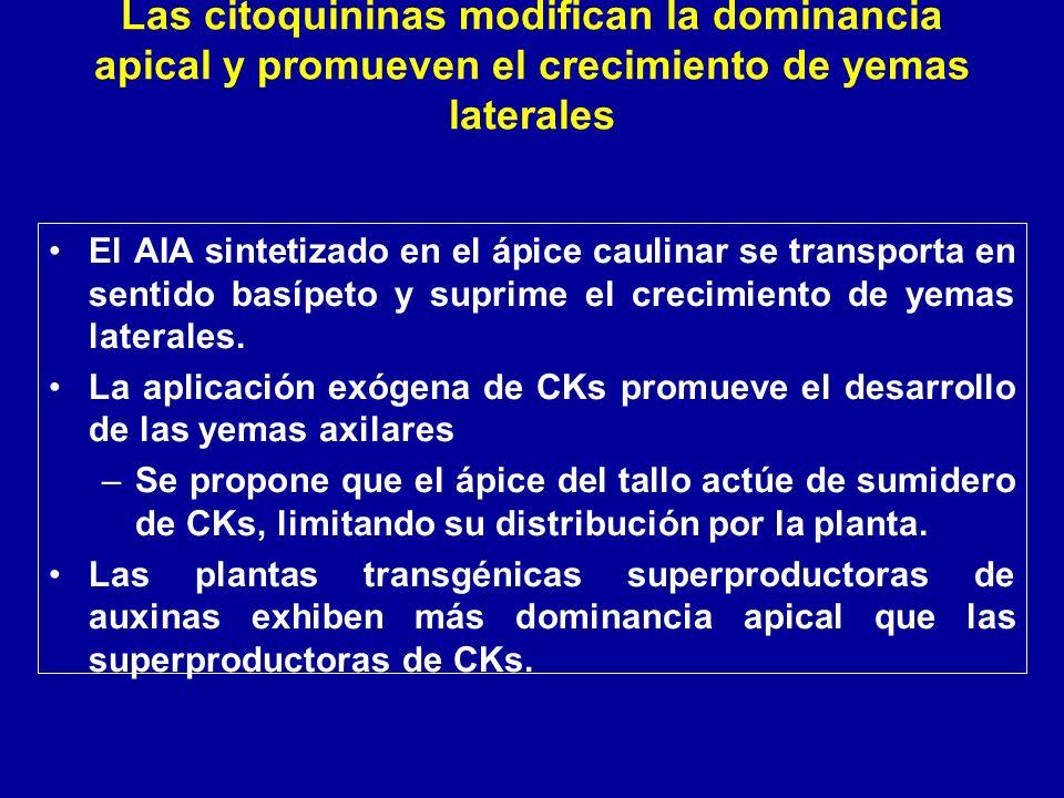 Las citoquininas modifican la dominancia apical y promueven el crecimiento de yemas laterales