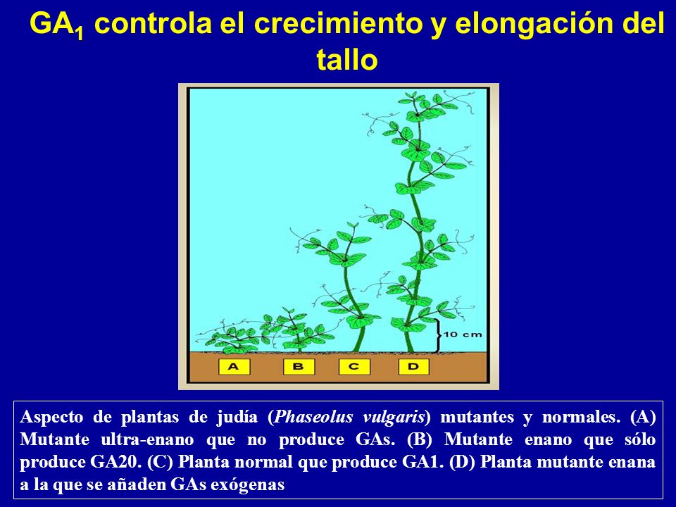 GA1 controla el crecimiento y elongación del tallo