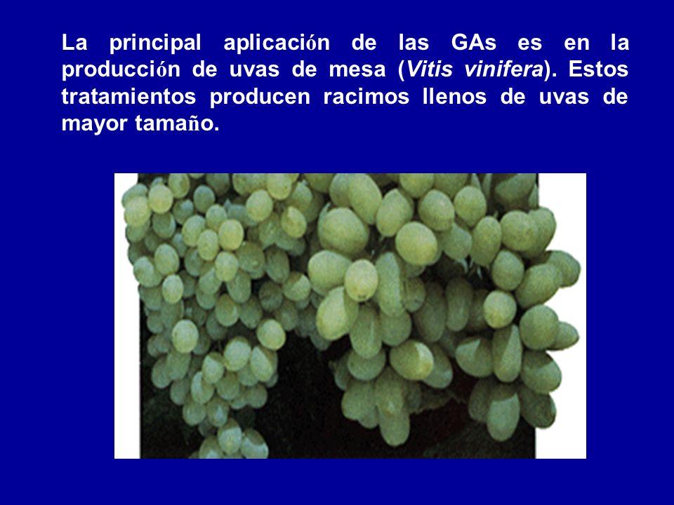 La principal aplicación de las GAs es en la producción de uvas de mesa (Vitis vinifera).
