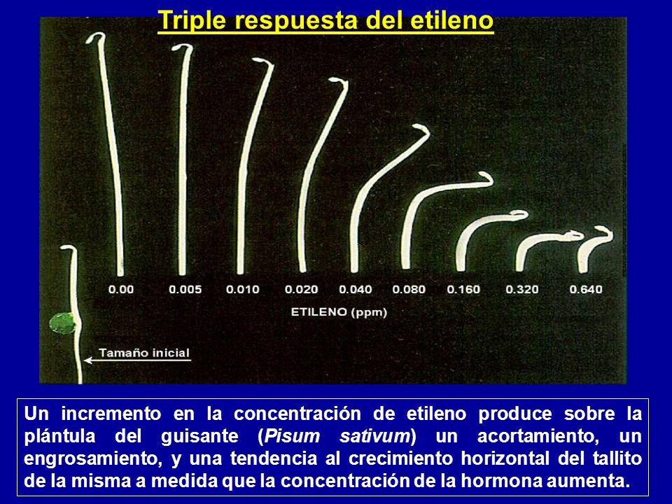 Triple respuesta del etileno