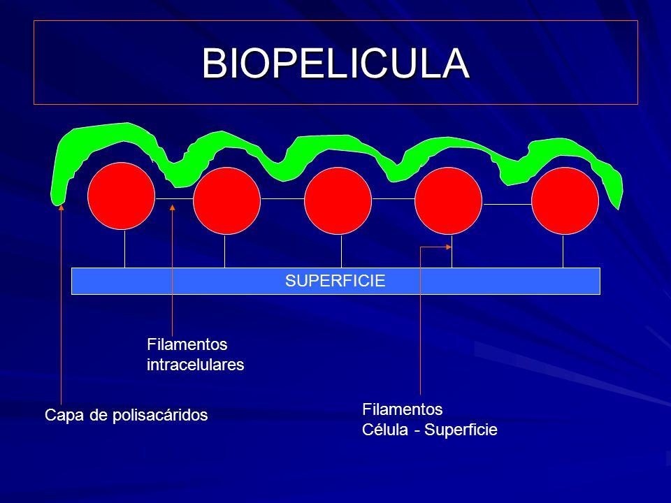 BIOPELICULA SUPERFICIE Filamentos intracelulares Filamentos
