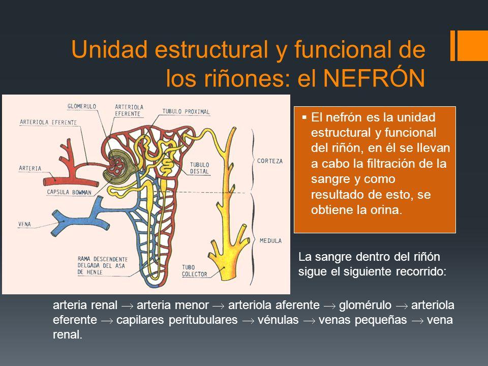 Unidad estructural y funcional de los riñones: el NEFRÓN