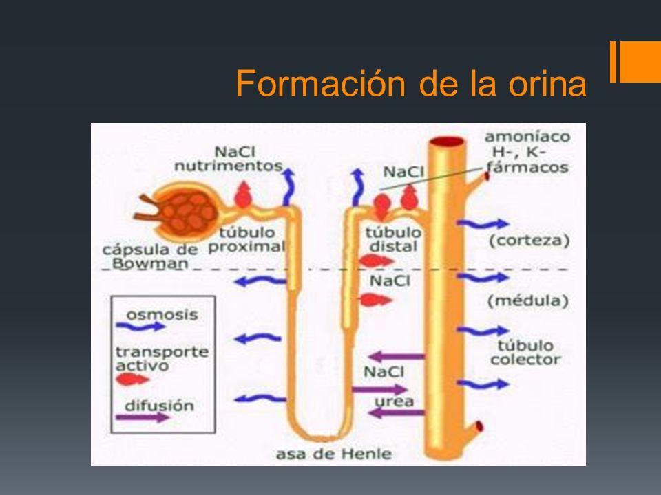 Formación de la orina