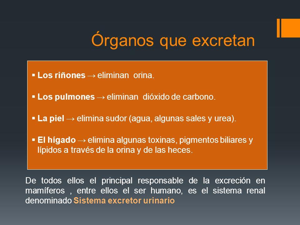 Órganos que excretan Los riñones → eliminan orina.
