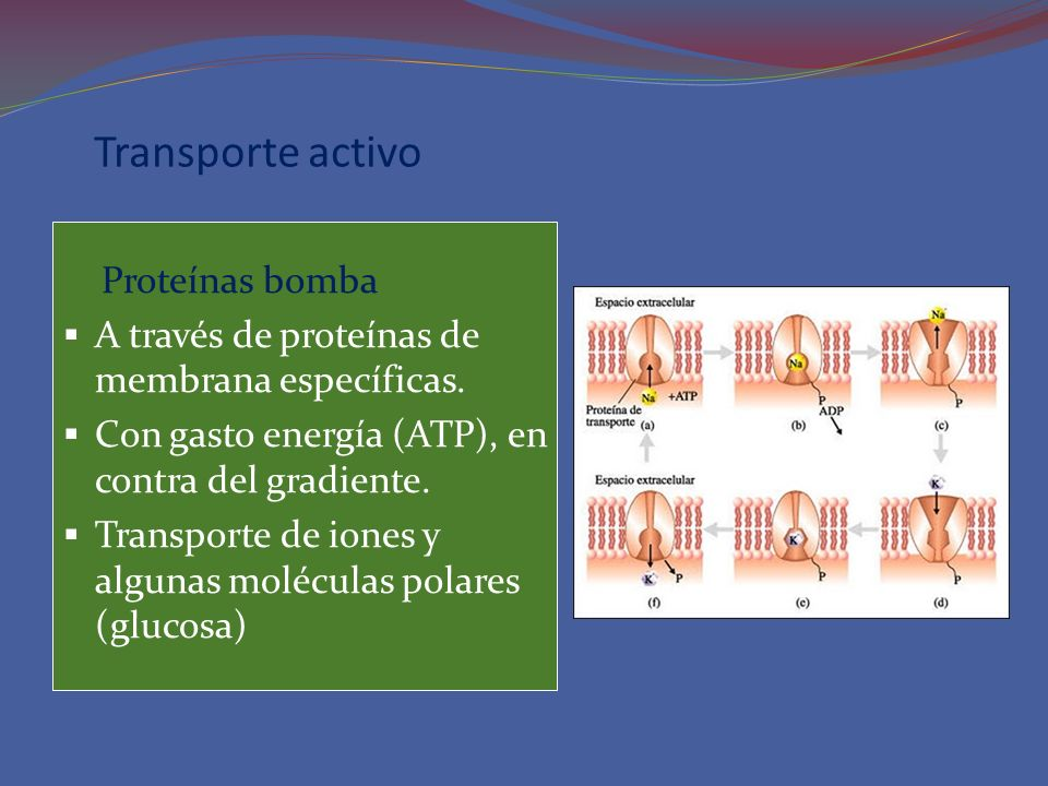 Transporte activo Proteínas bomba