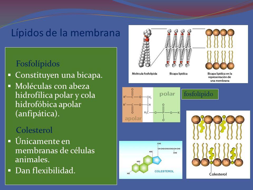 Lípidos de la membrana Fosfolípidos Constituyen una bicapa.