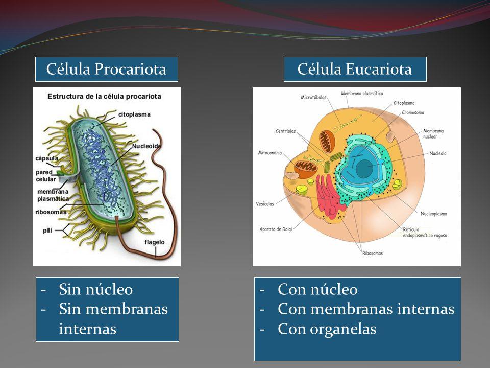 Célula ProcariotaCélula Eucariota. Sin núcleo. Sin membranas internas. Con núcleo. Con membranas internas.