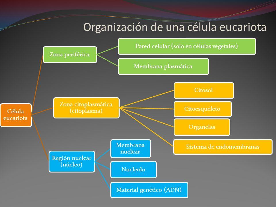 Organización de una célula eucariota