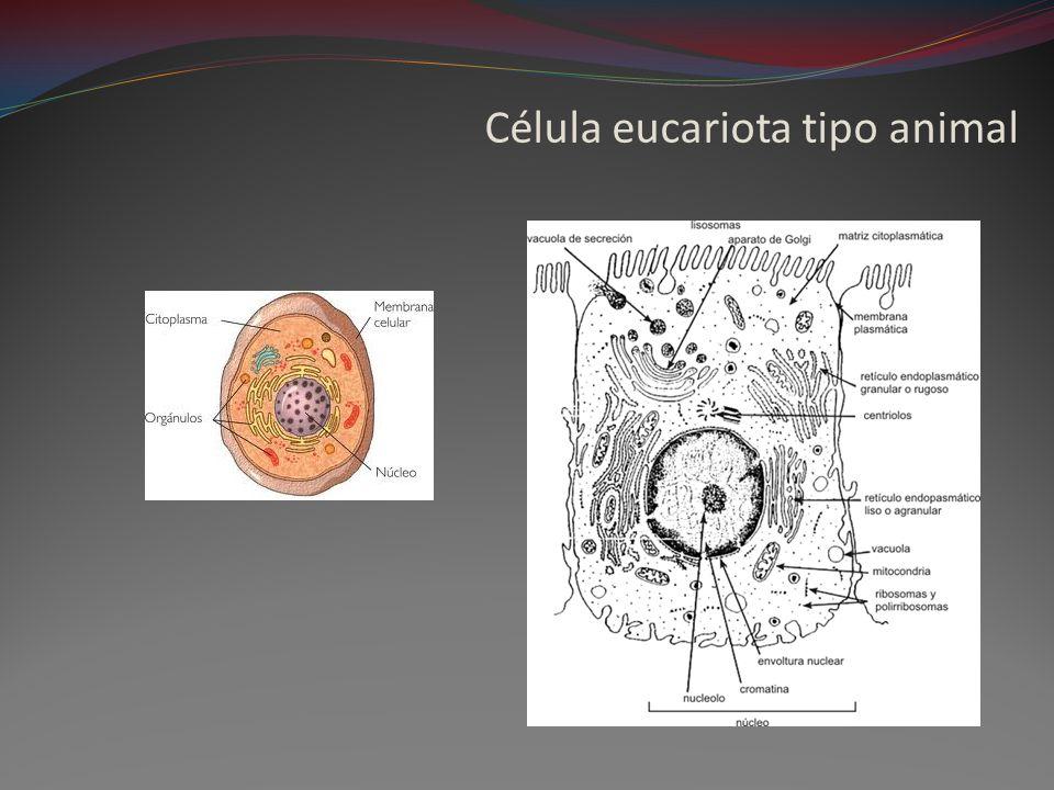 Célula eucariota tipo animal