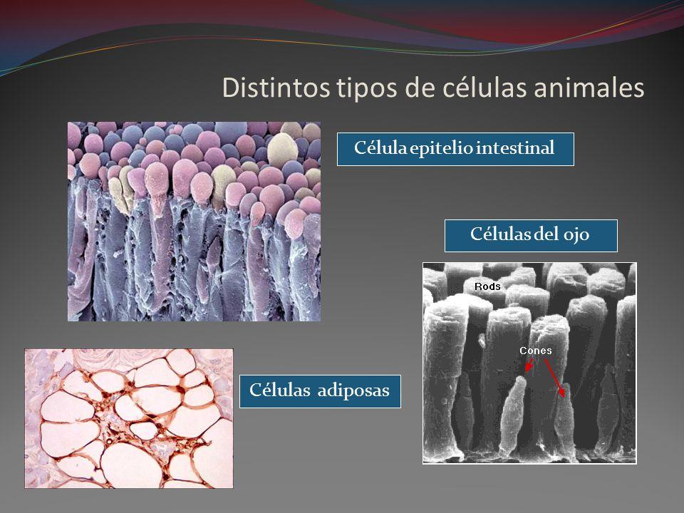 Distintos tipos de células animales