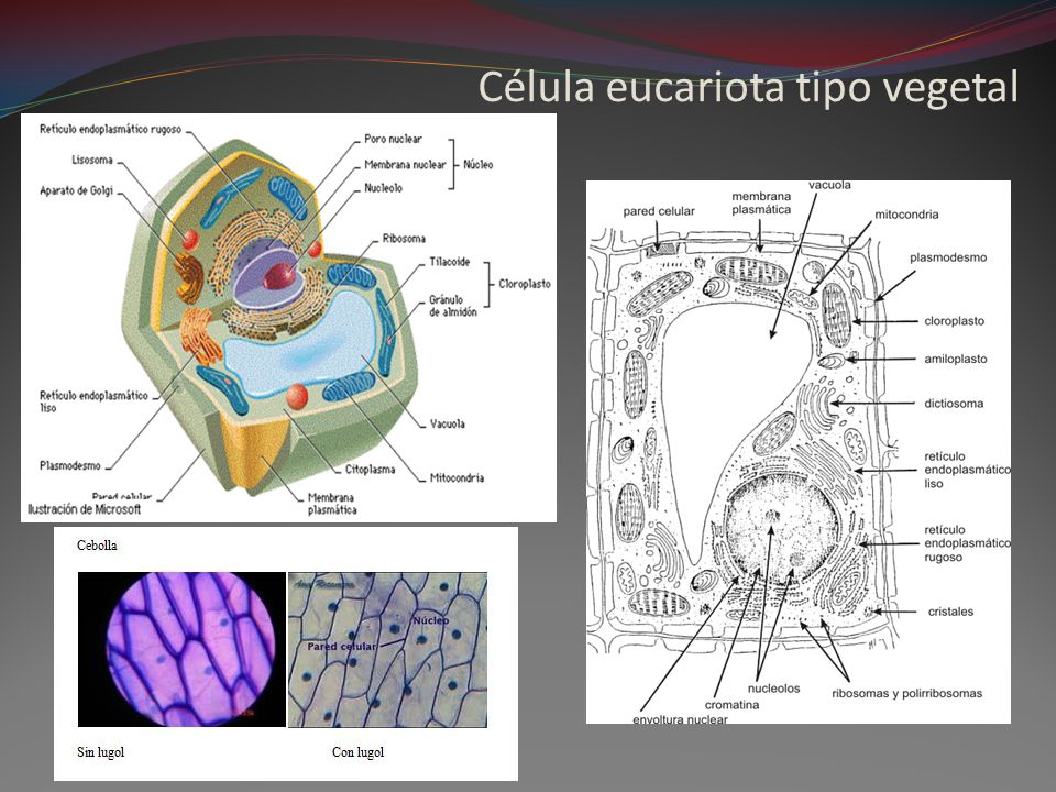 Célula eucariota tipo vegetal