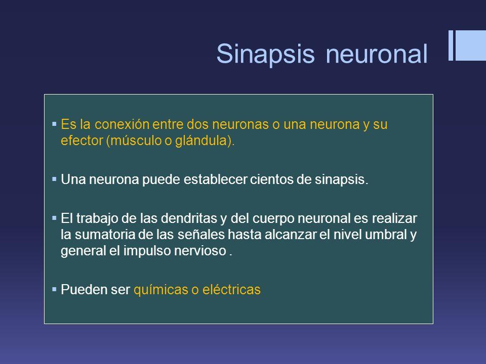 Sinapsis neuronal Es la conexión entre dos neuronas o una neurona y su efector (músculo o glándula).