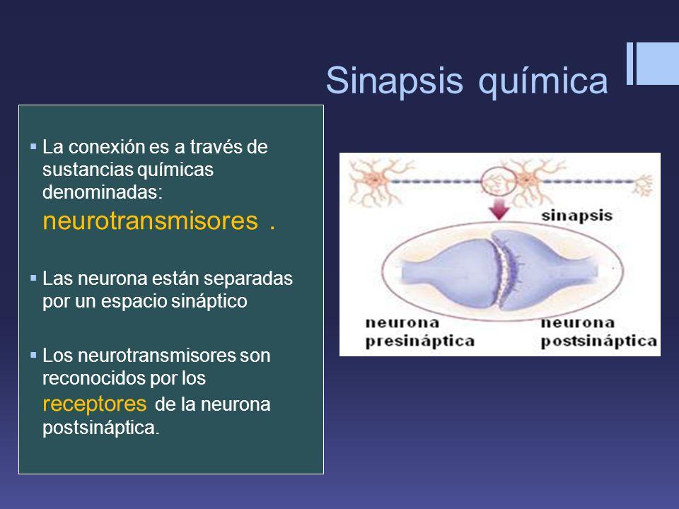 Sinapsis química La conexión es a través de sustancias químicas denominadas: neurotransmisores .