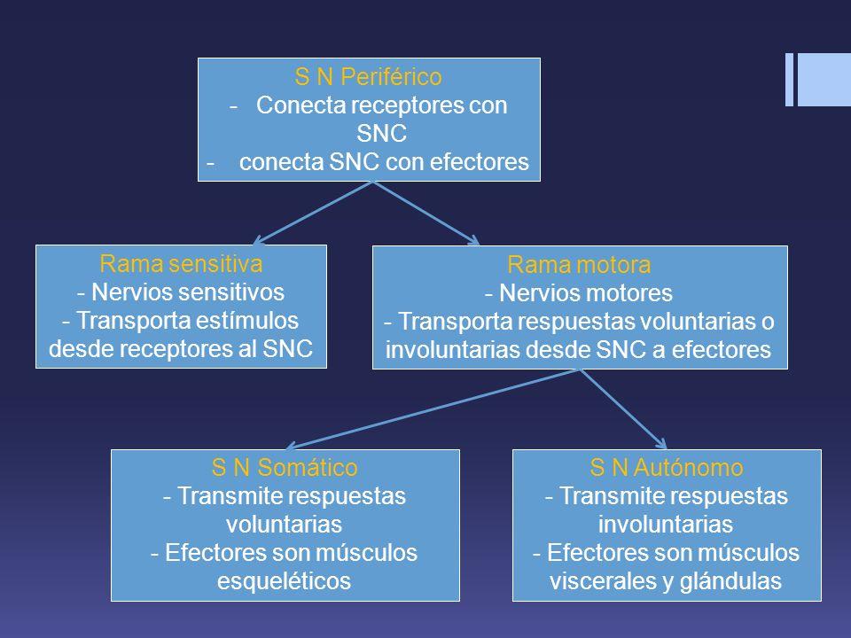 Conecta receptores con SNC conecta SNC con efectores