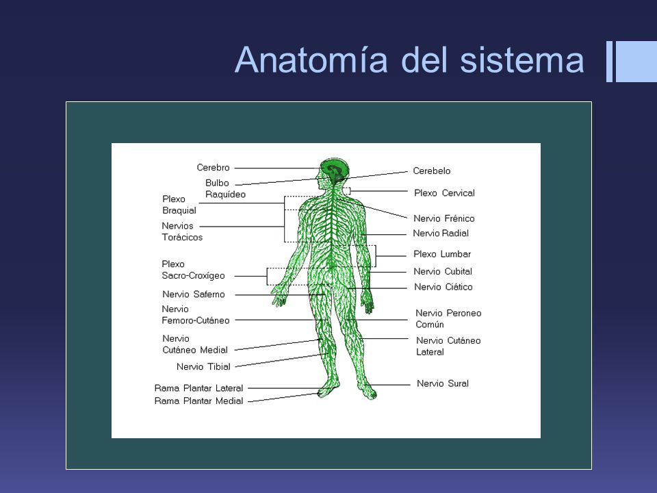 Anatomía del sistema